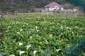 竹子湖採海芋包車旅遊
