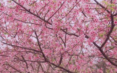 陽明山花季包車一日遊